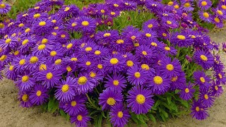 How to plant ground cover perennials: Jeff Turner plants ground cover varieties