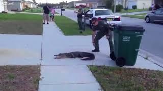 Арест крокодила. Флорида, США.