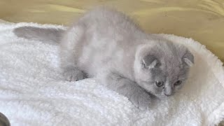 Cute Lilac Scottish Fold 2 months old kittens first day at his new home