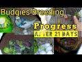BUDGIES BREEDING PROGRESS || AFTER 3 WEEK ✅