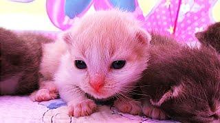 ✿ КОШКА РОДИЛА 5 КОТЯТ!!! Тент Minnie Mouse от JOHN Видео Для Детей Play with cat funny cats video(КОШКА РОДИЛА 5 КОТЯТ Тент Minnie Mouse от JOHN Видео Для Детей Play with cat funny cats video https://goo.gl/i4xtKI Подписка на Канал Kids..., 2016-07-12T04:18:08.000Z)