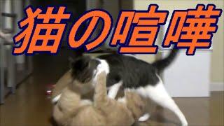 猫こむぎ&♂猫だいずは日に何度も喧嘩します=^_^= さっきまで抱き合って...