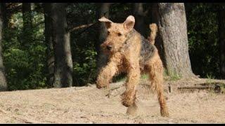 Смешная собака эрдельтерьер, которая любит бегать.