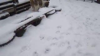 Московская Сторожевая щенки. Девочки 4 месяца(Продается) и 2 мес.(Продана) тел.+380684130213