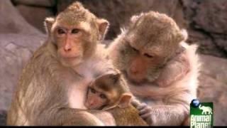 Romeo and Juliet, A Monkey