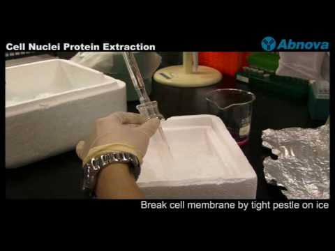 Cell Nuclei Protein Extraction