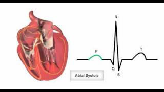 Anatomy & Physiology Online - Cardiac conduction system and its relationship with ECG
