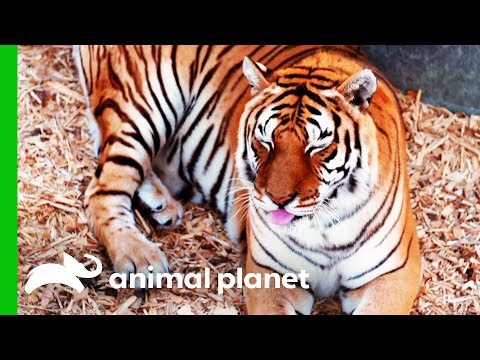 This Rescued Tiger Desperately Needs a Manicure | Dr. Jeff: Rocky Mountain Vet