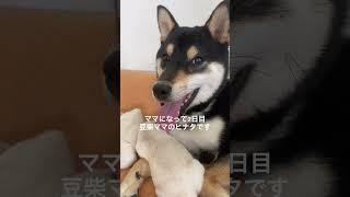 【2日目】ヤンチャ坊主の長男紹介~豆柴ママのヒナタ~ #Shorts