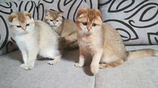Шотландские котята золотого тиккированного окраса, возраст 4 месяца. Продаются.