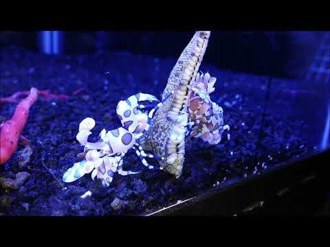 **AMAZING FOOTAGE** Harlequin Shrimp Pair Eating Starfish