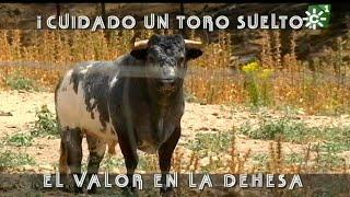 Toro suelto de Rehuelga y Revoltoso, indultado por Juan Bautis…