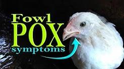 Fowl Pox, Avian Pox symptoms in Chicken, Poultry Diseases