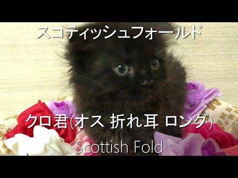 スコティッシュ 黒