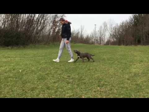 American bully puppy training Dublin - Perra