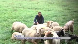 Plaisir : des moutons pour entretenir les pelouses du château