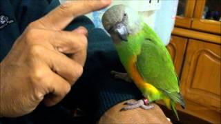 塞內加爾鸚鵡-檸檬-撒嬌中的模樣好乖唷!104.2.6