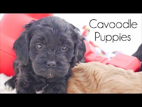 Chevromist Cavoodles Puppies