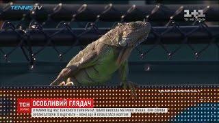 Метрова ігуана пперервала тенісну гру в Маямі