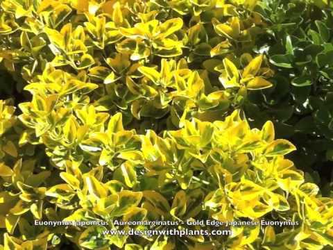 Бересклет: посадка и уход в саду, открытом грунте, форчуна