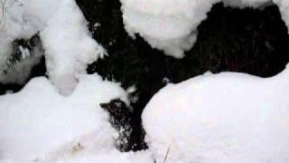 雪中にイノシシ発見再び。慌てて逃げる途中雪穴に」落ちてしまいました。その...