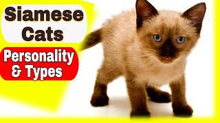 Siamese Cats  Personality and Types of Siamese Cats