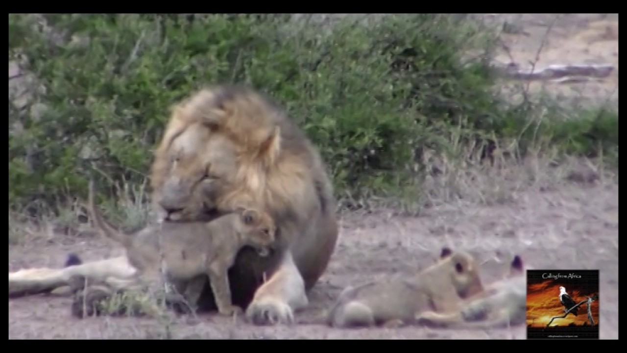 Lion dad and his cubs at play