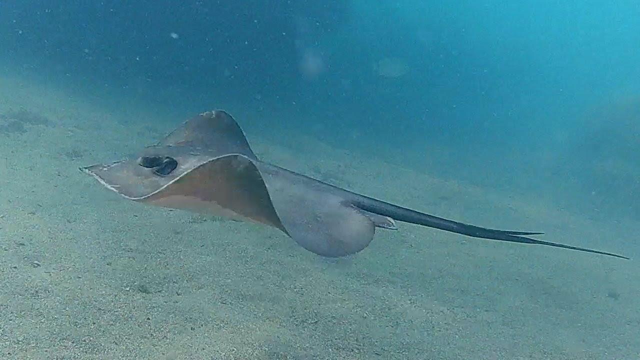 применяя черноморский скат рыба фото связано уникальной