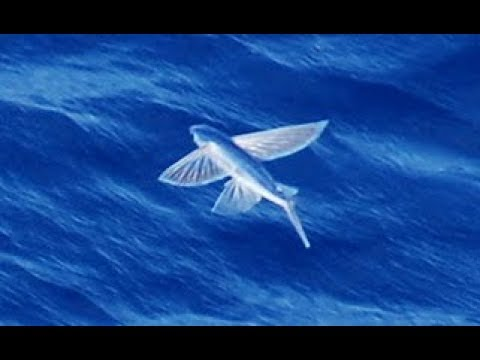 Facts: The Flying Fish