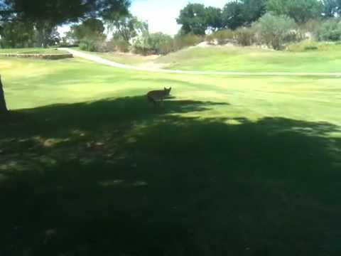 Coyote At NMSU Golf Course