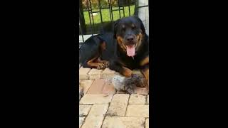 Rottweiler Cares for Kitten Like One of His Own