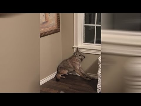 Woman wakes up to coyote in her bedroom