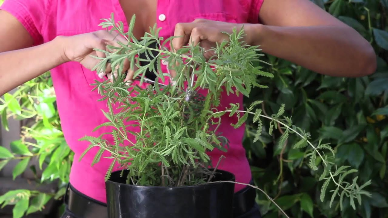 How to trim a potted lavender plant the chef 39 s garden youtube - Growing lavender pot ...