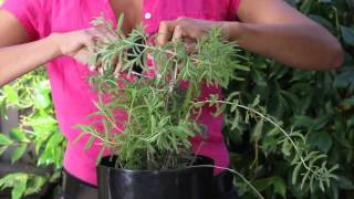 How to Trim a Potted Lavender Plant : The Chef's Garden