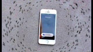 Реакция муравьёв на входящий звонок на iPhone