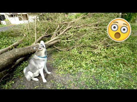 Download Youtube: Husky REACTS to the Hurricane Damage! Gohan During/After The Storm!
