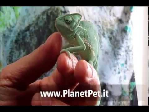 Camaleonte Chamaeleonidae PlanetPet.it
