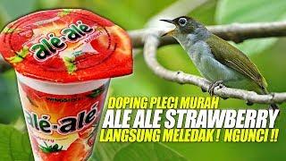 Ale Ale STRAWBERRY | Doping Burung PLECI Untuk Harian Agar NGUNCI Bisa NGOTOT Bongkar Isian