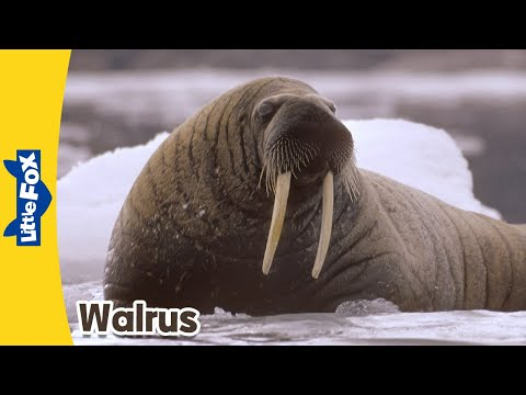 Meet the Animals 8: Walrus | Level 2 | By Little Fox