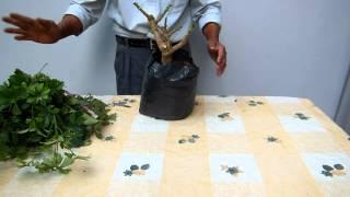 Como hacer un bonsai de Schafflera   1