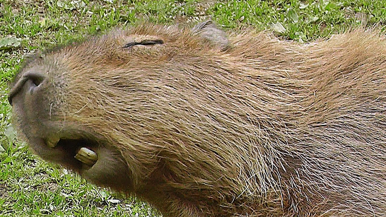 Capybara : The Biggest Rodent in The World - Bigger Than ...