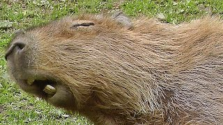 Capybara : The Biggest Rodent in The World - Bigger Than Any Giant Rat