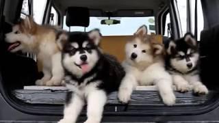 阿拉斯加狗狗听到奇怪声音的表情 thumbnail