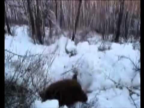 Порно мальчики и медведи