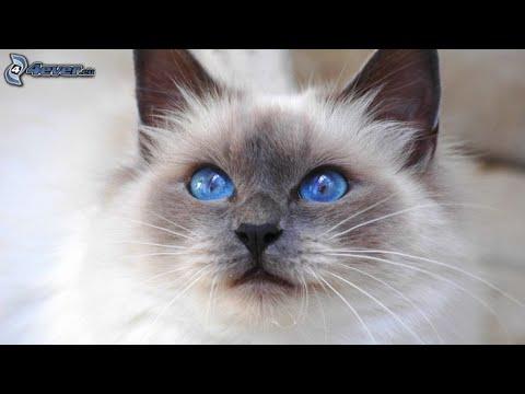 Siamese cats - القط السيامي - Chats siamois