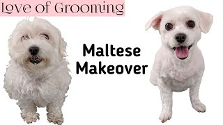 Shaving a Maltese Dog all Over | How to Shave a Small Dog