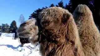 Красивый Двугорбый Верблюд в Центре Сибири Beautiful Bactrian camel in the middle of Siberia