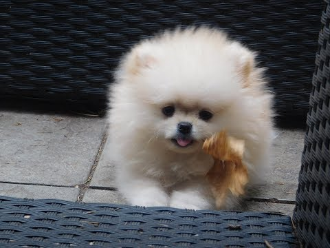 Cute Pomeranian puppy play in Park Boo funny - Calvin Klein Vip Pom Star