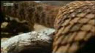 Hawk vs snake - BBC wildlife