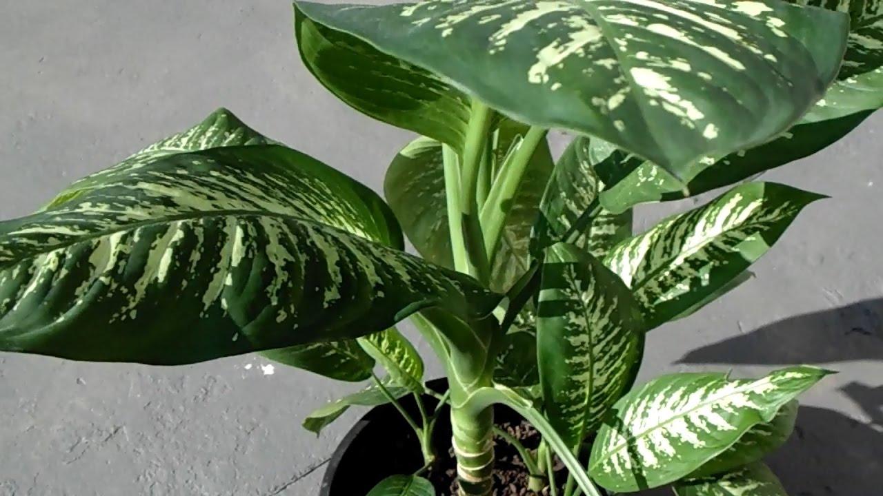 Diffenbachia seguine 2 variedad de hojas grandes youtube - Plantas interior grandes ...